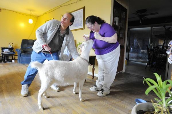 R Goats Good Pets A couple of bab...